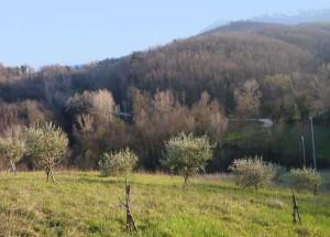 Olive trees at Carotondo in Le Marche, Italy