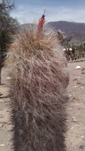 Hairy Cactus with flower bud