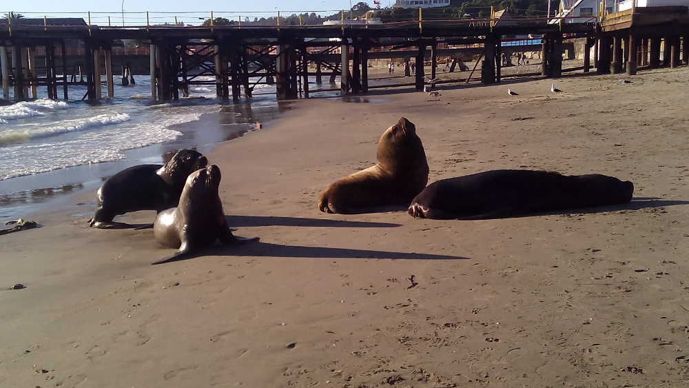 Sealions hanging out on Tome beach
